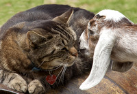 EvelynAnderson_Cat and Goat