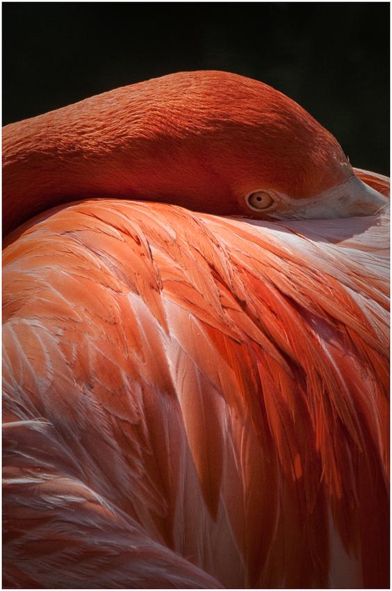 Flamingo Eye