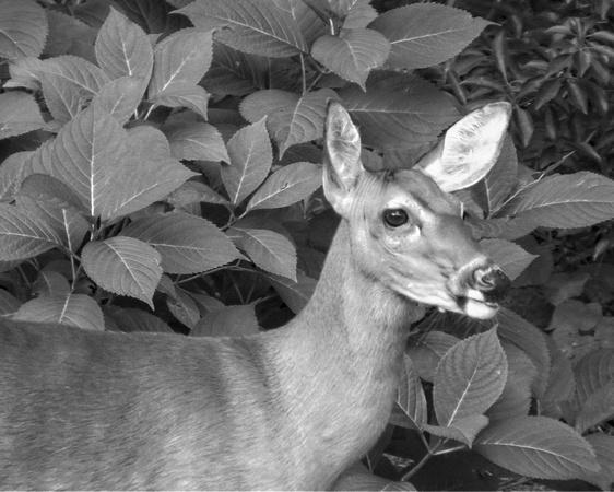 Deer final 8 x 10