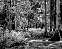 0055 Path Though the Forest BW 16x20