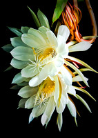 Midnight Blooming Cereus