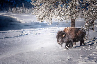 0022 90 Bison Trodging Through Snow Along the River