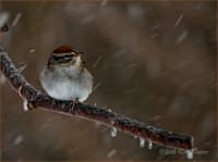 Chipping Sparrow in Snow Storm